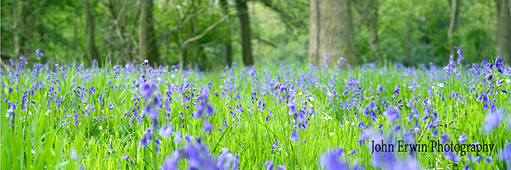 Bluebells Print - Small